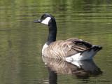 Canada Goose 28.jpg