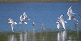 Bonapartes Gulls and Western Sandpipers in flight 1a.jpg