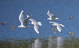Bonapartes Gulls and Western Sandpipers in flight 2a.jpg