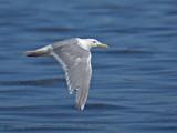 Glaucous-winged Gull in flight 3.jpg