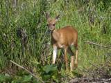 Black-tailed Deer doe 5.jpg