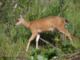 Black-tailed Deer doe 4.jpg