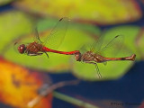 Sympetrum vicinum - Autumn Meadowhawks flying in tandem 3a.jpg