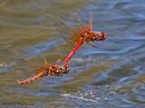 Sympetrum illotum - Cardinal Meadowhawks flying in tandem 16a.jpg