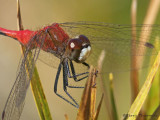 Sympetrum obtrusum White-faced Meadowhawk 10b.jpg
