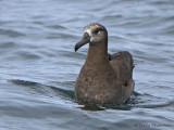 Albatrosses, Shearwaters, Petrels etc.