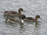 Northern Pintail male and females 1b.jpg