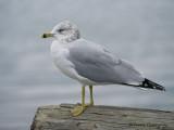 Ring-billed Gull winter 3b.jpg