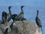Pelagic Cormorants 9b.jpg