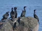 Pelagic Cormorants 5a.jpg