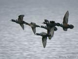 Harlequin Ducks in flight 2a.jpg