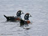 Harlequin Ducks 6b.jpg