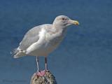 Glaucous-winged Gull 12b.jpg