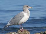 Glaucous-winged Gull 10b.jpg