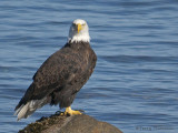 Bald Eagle 23b.jpg