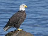Bald Eagle 22b.jpg