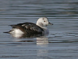 Long-tailed Duck first winter male 2b.jpg