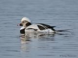 Long-tailed Duck winter male 11b.jpg