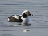 Long-tailed Duck winter male 3b.jpg