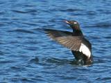 White-winged Scoter wing flapping 3b.jpg