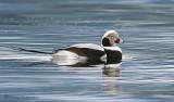 Long-tailed Duck 7b.jpg