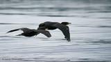 Double-crested Cormorants in flight 1b.jpg
