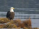 Bald Eagle 30b.jpg