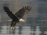 Bald Eagle taking off 2b.jpg