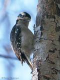 Downy Woodpecker 34c.jpg