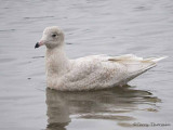 Glaucous Gull first winter 1b.jpg