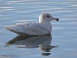 Glaucous Gull first winter 8b.jpg