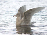 Glaucous Gull first winter wing flapping 1b.jpg