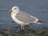 Thayers Gull 3b.jpg