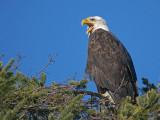 Bald Eagle 29b.jpg