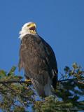 Bald Eagle 32b.jpg