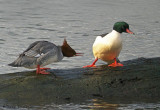 Common Mergansers pecking order 1b.jpg