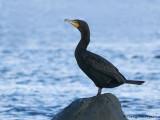Double-crested Cormorant 9b.jpg