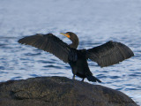 Double-crested Cormorant wing drying 3b.jpg