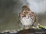 Fox Sparrow 12c.jpg