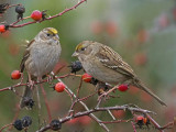 Golden-crowned Sparrows 1b.jpg