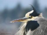 Great Blue Heron 27b.jpg
