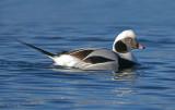 Long-tailed Duck 10b.jpg