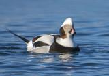 Long-tailed Duck 11b.jpg