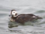 Long-tailed Duck adult female winter 5b.jpg