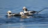 Long-tailed Ducks 13b.jpg