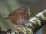 Song Sparrow 18b.jpg