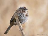 Song Sparrow 22c.jpg