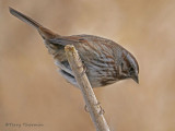 Song Sparrow 23b.jpg