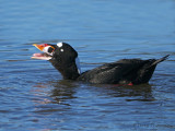 Surf Scoter with Clam 14b.jpg