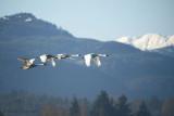 Trumpeter Swans in flight 18b.jpg